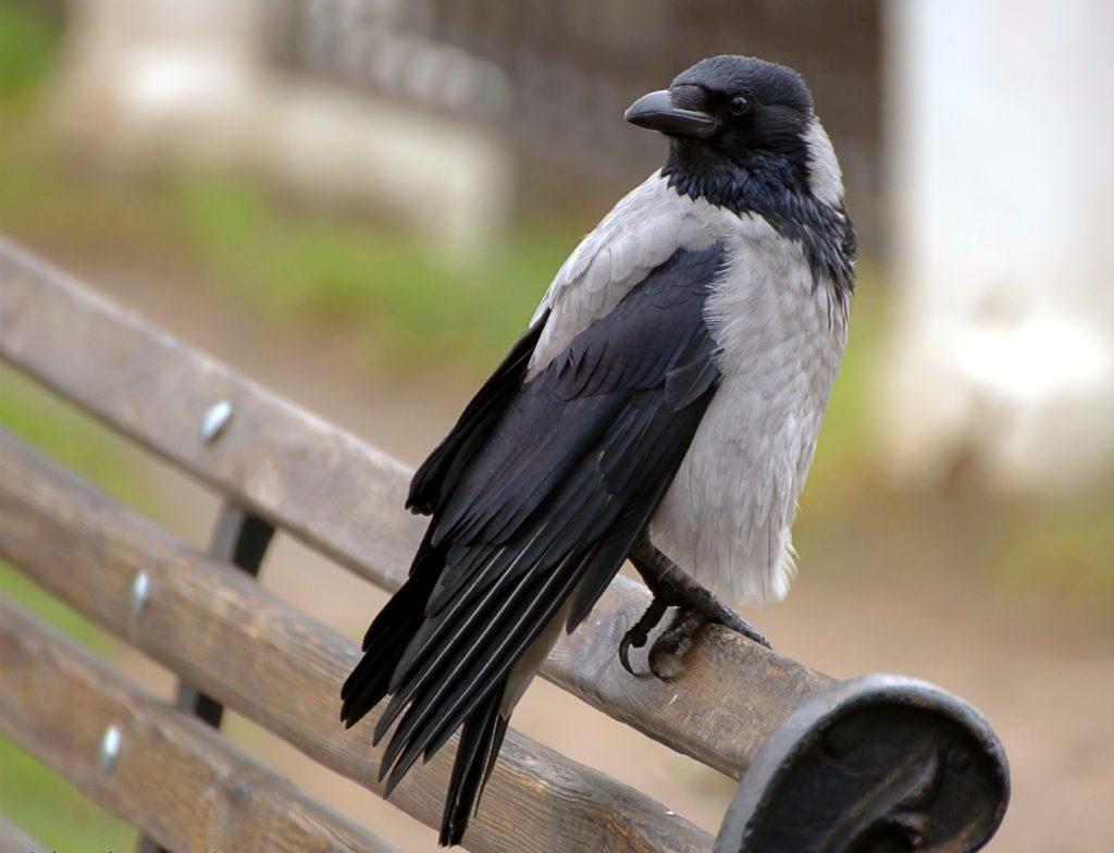 Ворона крупным планом