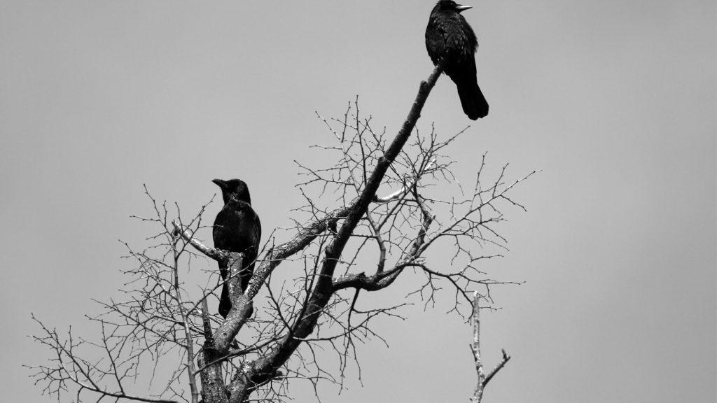 Вороны на дереве