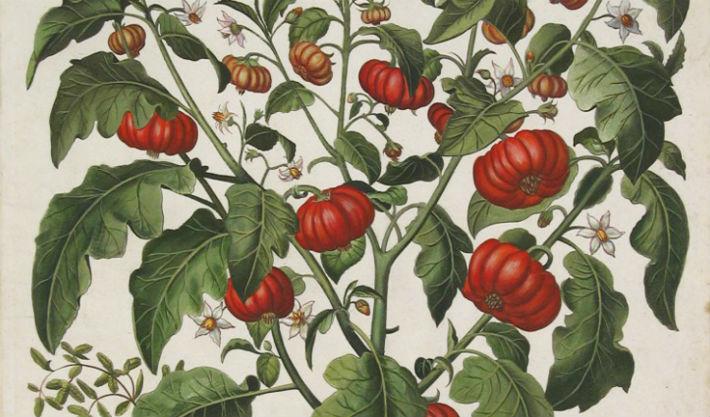 томаты в XVII веке