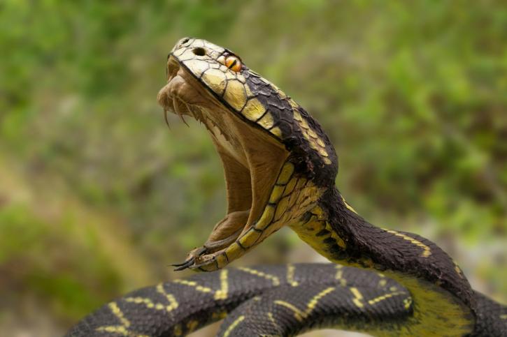 Агрессивно настроенная змея