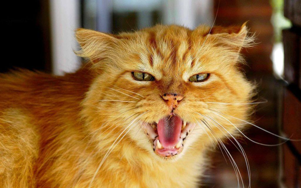 Агрессивный рыжий кот