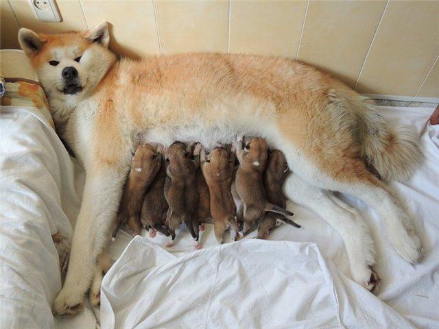 Акита-ину со щенками