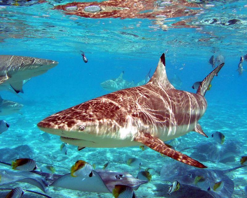 Акула в океане