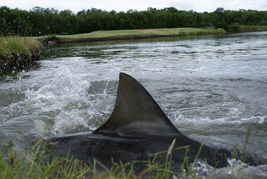 Акула в реке