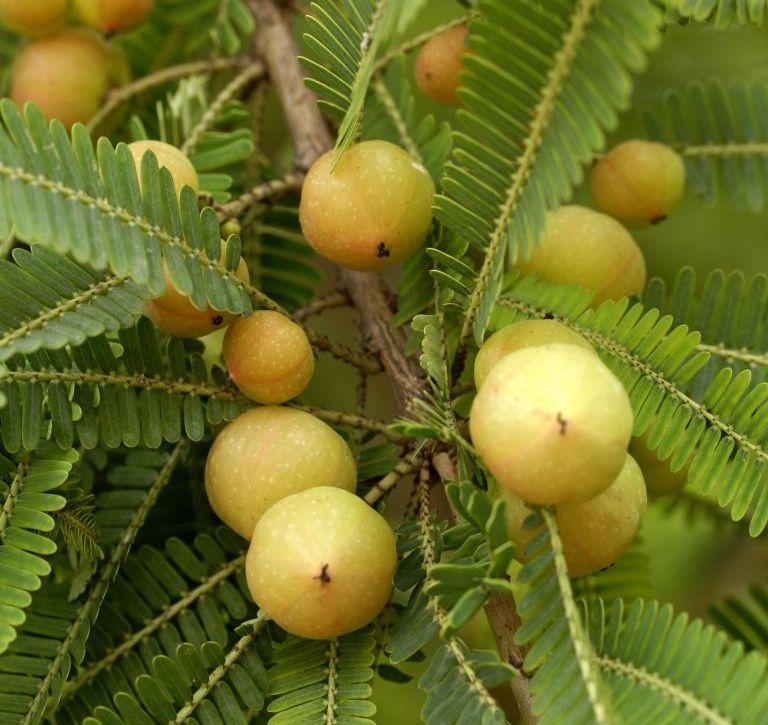 Плоды амлы на ветке