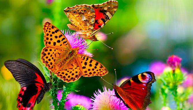 Много бабочек на цветах