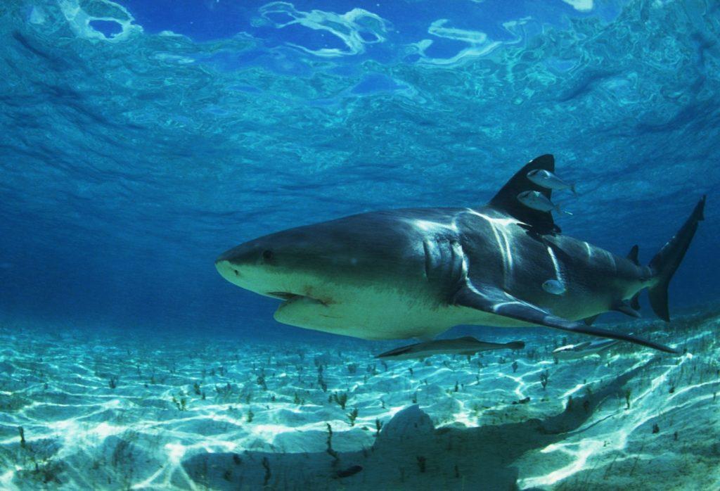 Белая акула на глубине