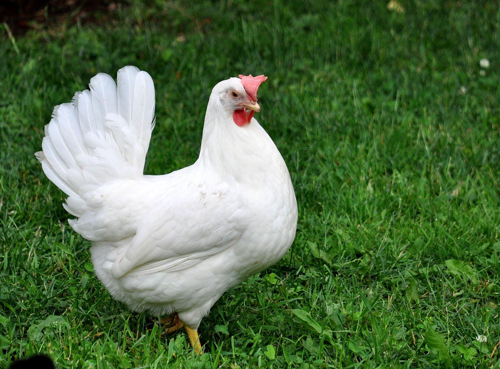 Сонник курица приснилась