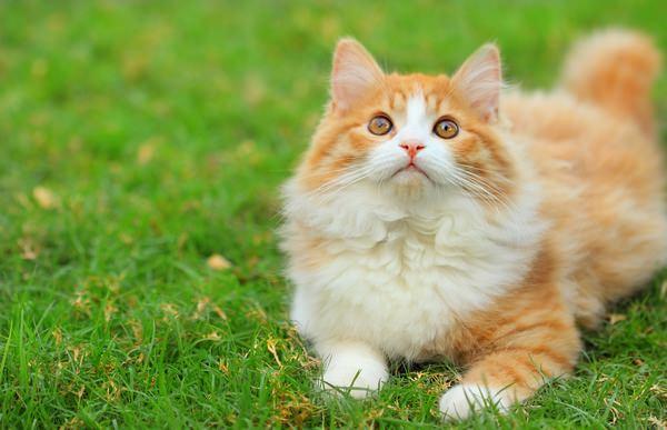 Бело-рыжий кот на траве