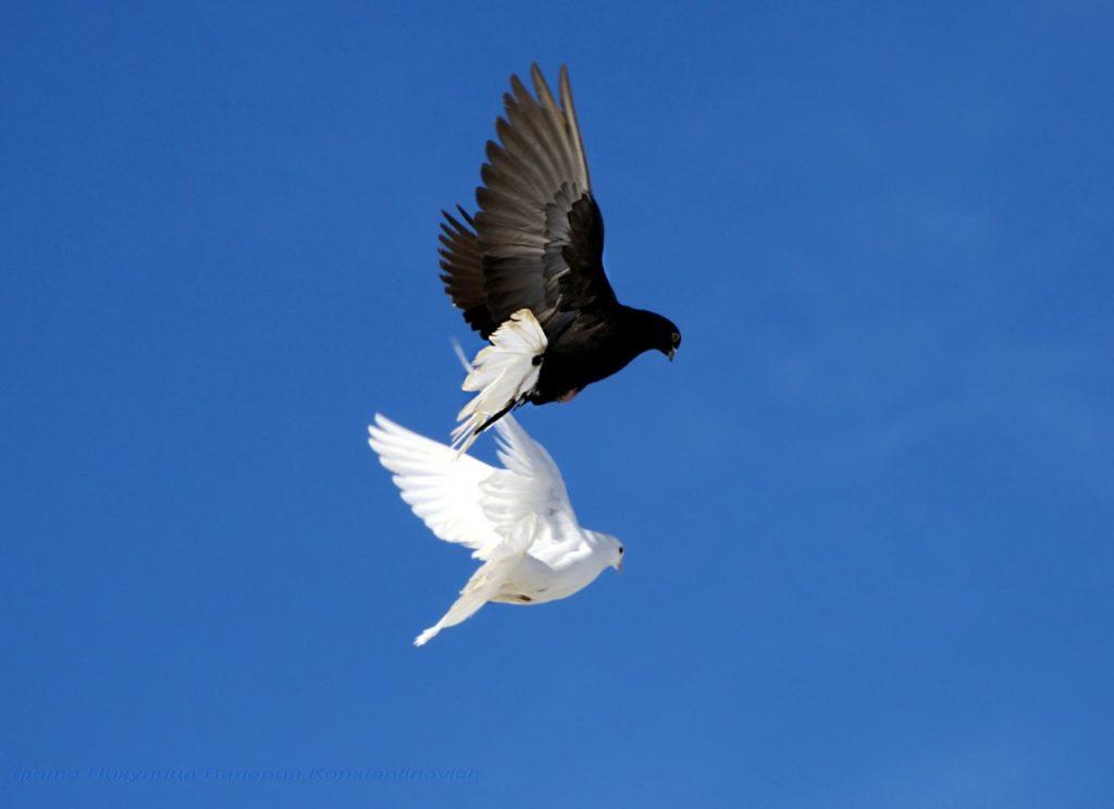 Белый и чёрный голуби в небе