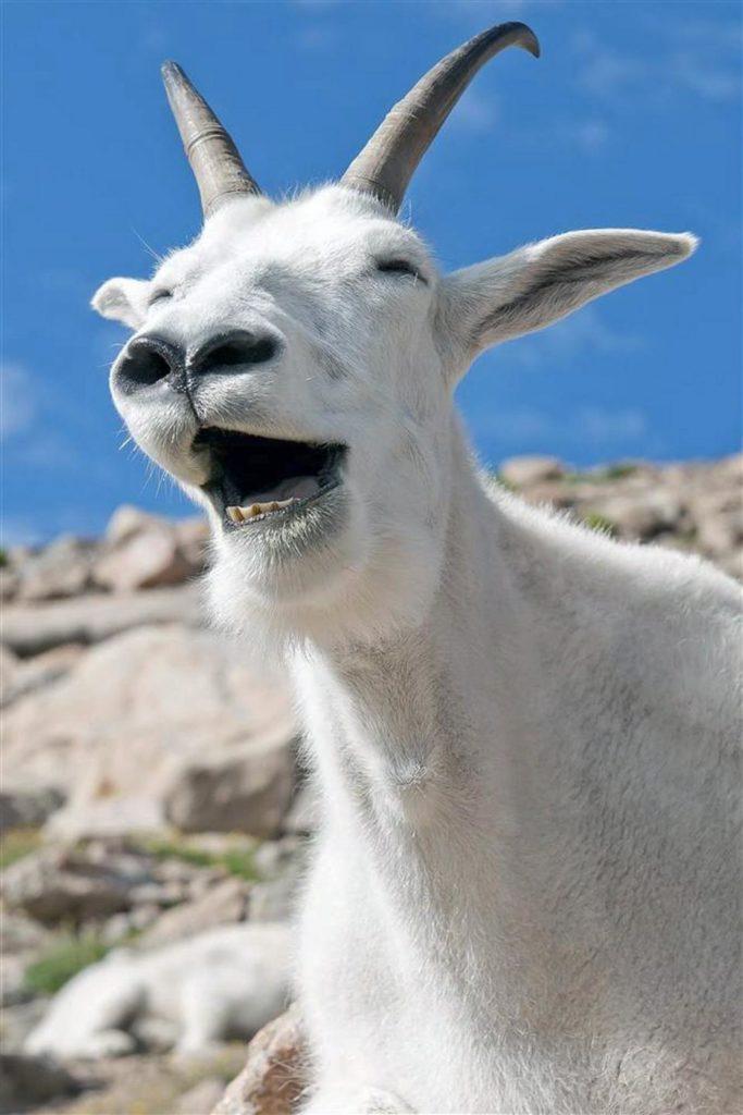 Белый козёл