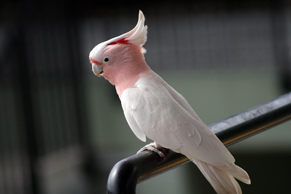 White australian parrot