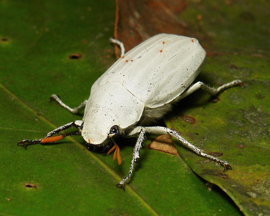Белый жук