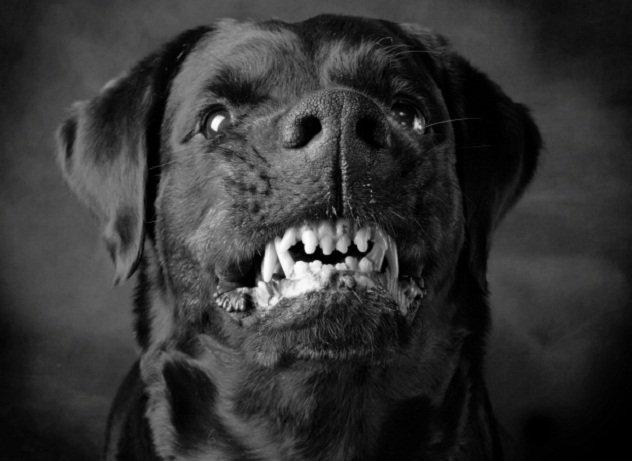Чёрная злая собака