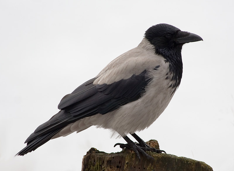 Чёрно-белая ворона