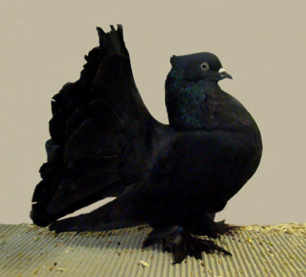 Чёрный голубь
