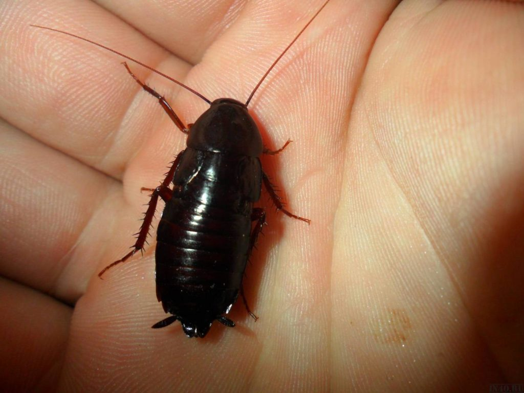 Чёрный таракан на ладоне