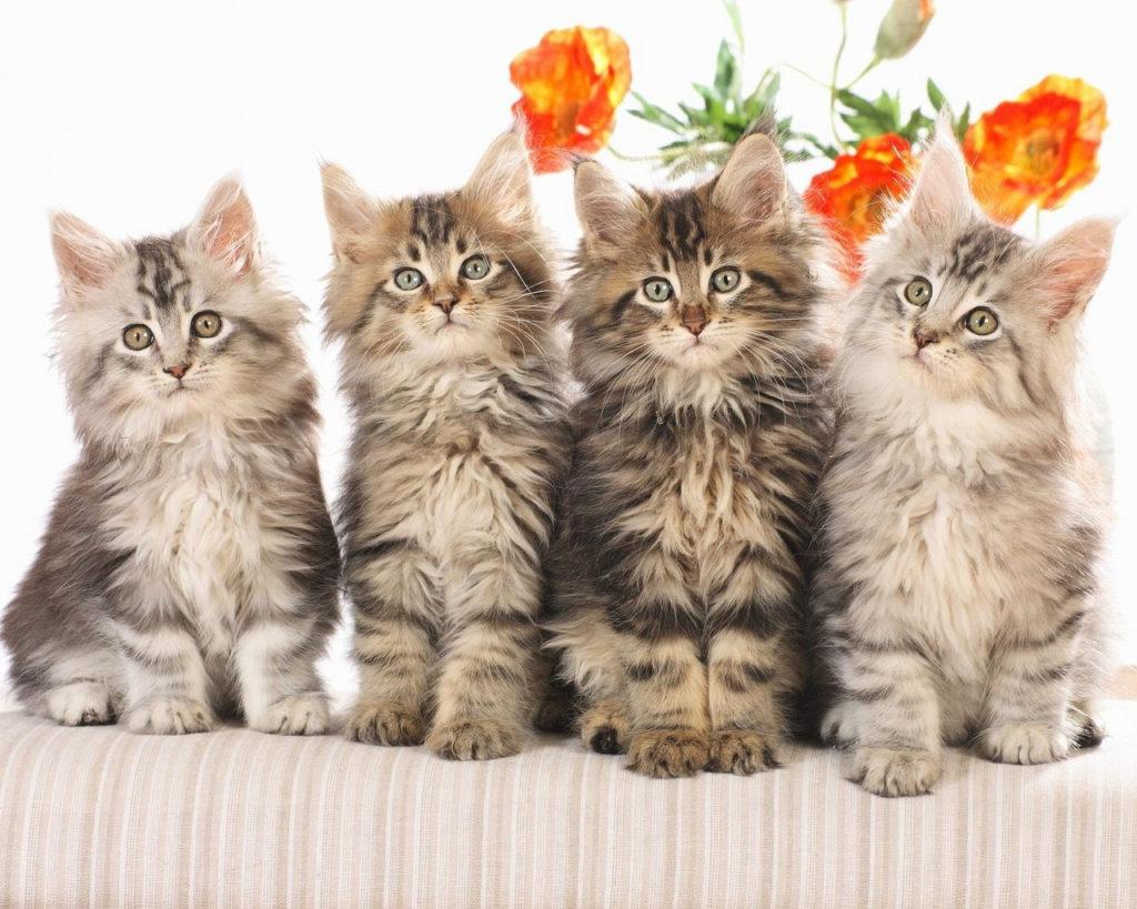 Четыре пушистых котёнка