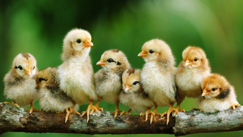 Цыплята на ветке