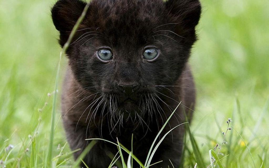 детёныш пантеры