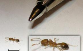 Домашний фараонов муравей