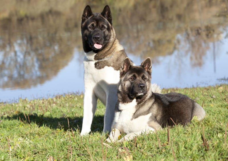 Две большие японские собаки