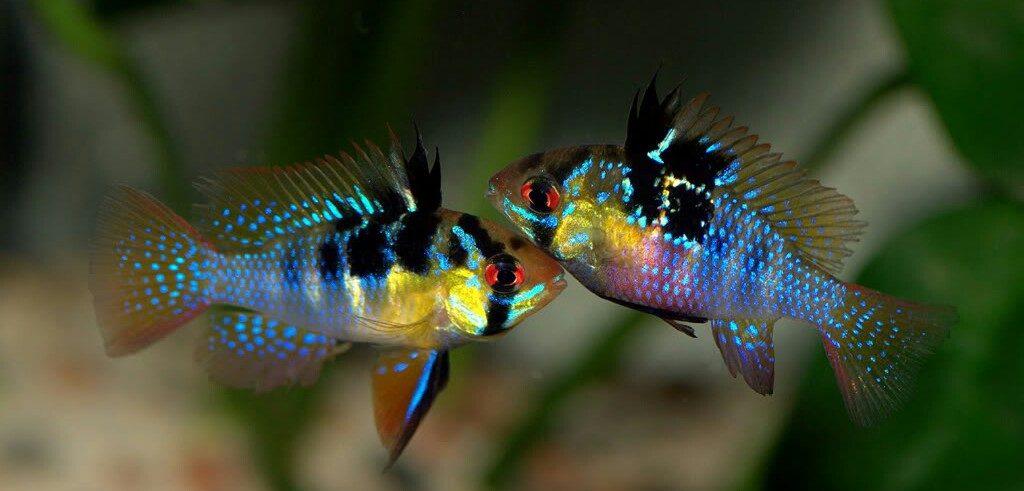Две рыбки апистограммы