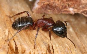 Европейский муравей-древоточец