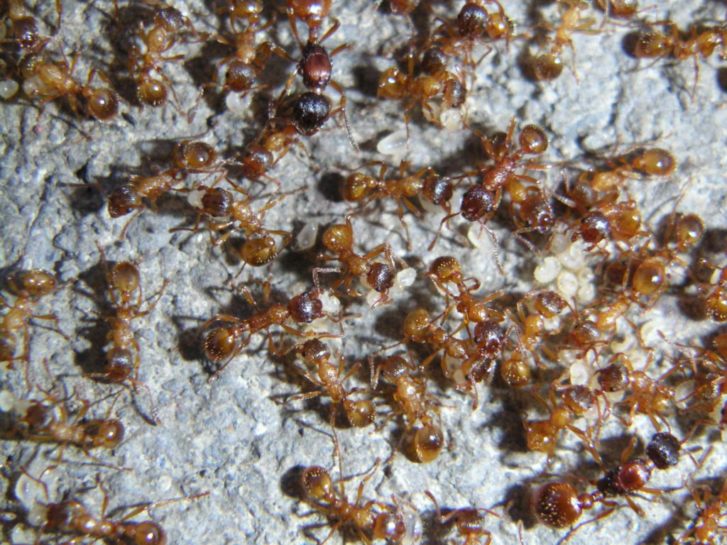 Гнездо домашних муравьёв