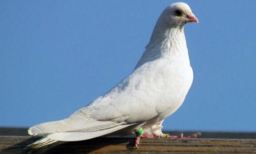 Секс в белых голубей