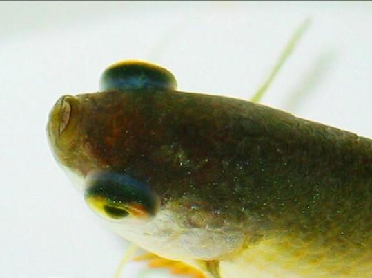 Рыбка, больная пучеглазием
