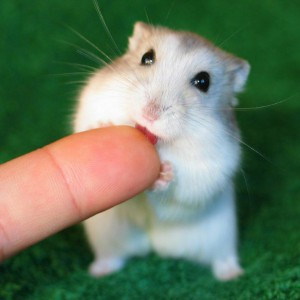 Хомяк кусает за палец