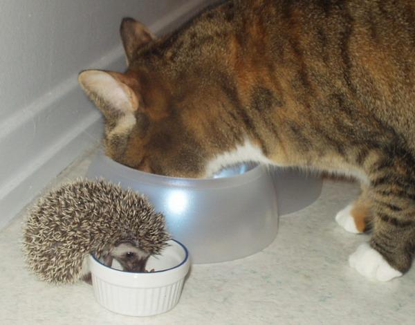 Ёжик ест из миски рядом с котом
