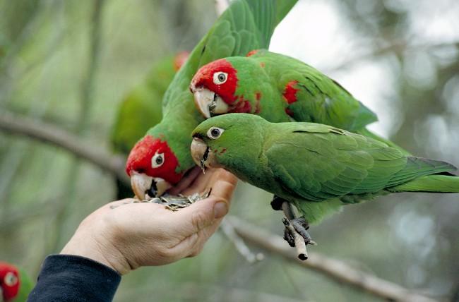 Кормить попугая