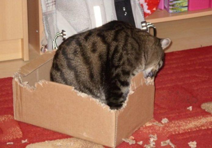 Кошка грызет коробку