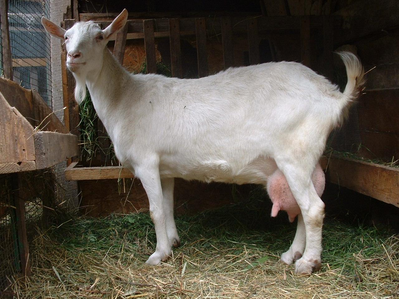 Секс и коза