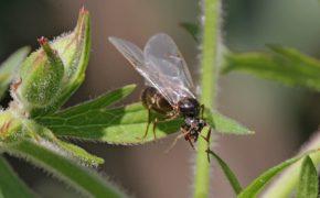 Крылатая самка муравья