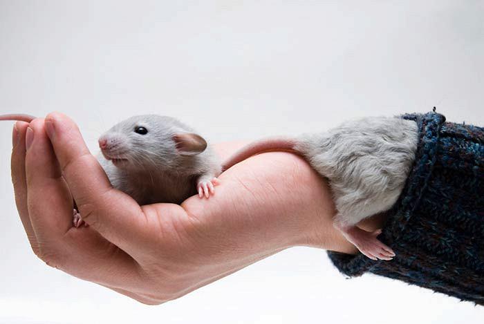 Две крысы на руке