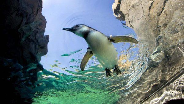 Купающийся пингвин