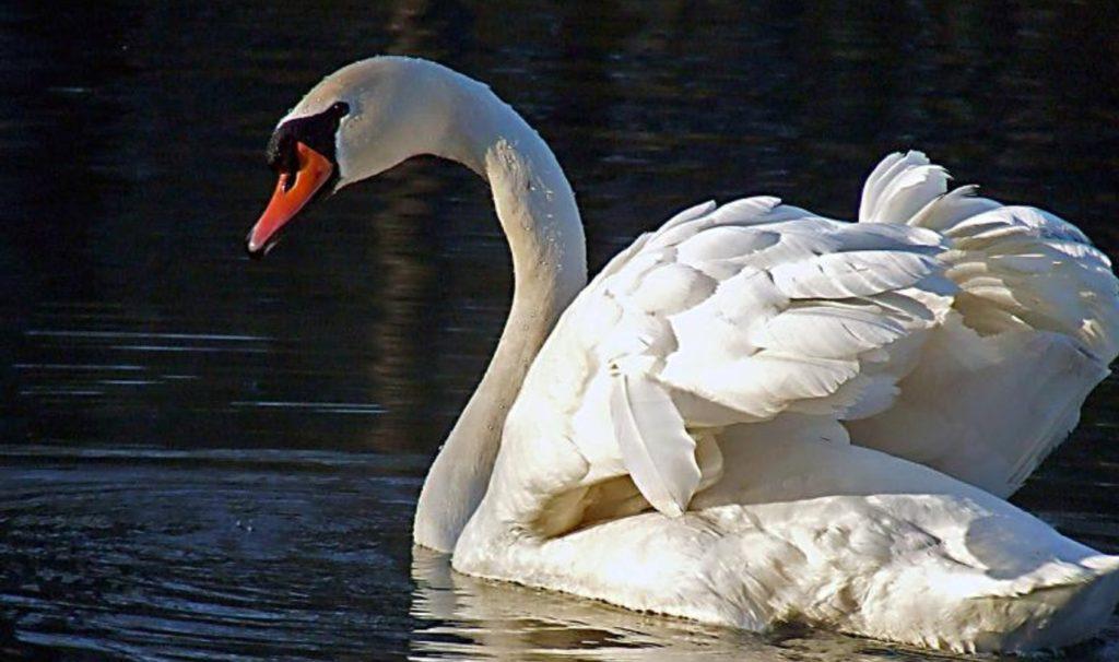 Красивый лебедь