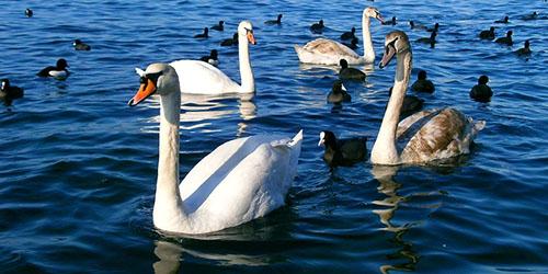 Лебеди на воде