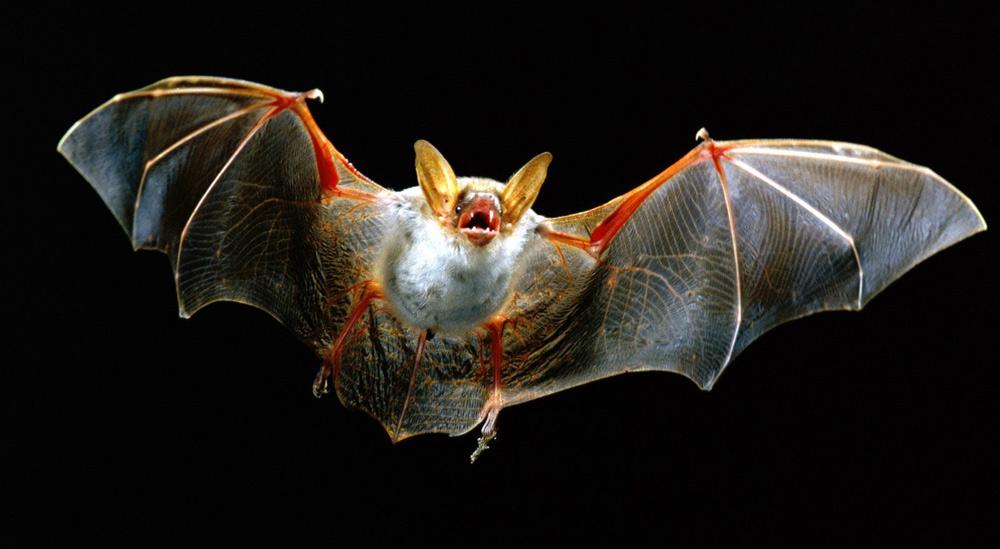Летучая мышь с расправленными крыльями