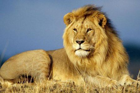 Сексуальное поведение лев