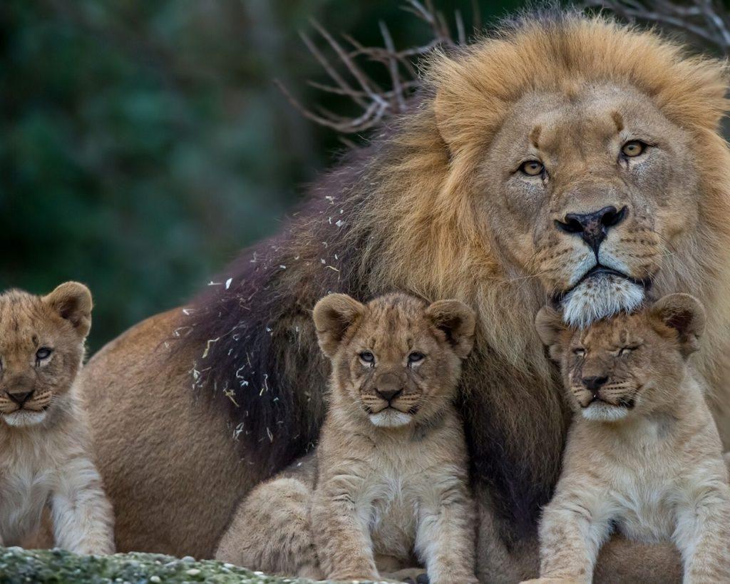 Лев с маленькими львятами