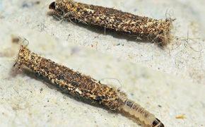 Личинки шубной моли