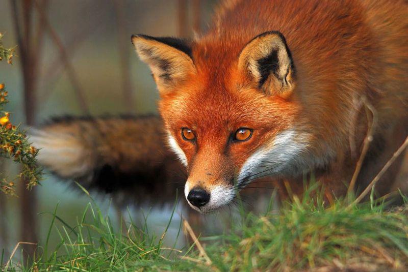 Рыжая лиса во сне что значит подобное сновидение