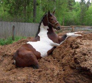 Лошадь лежит в куче навоза