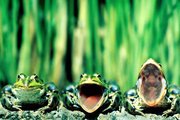Лягушки квакают