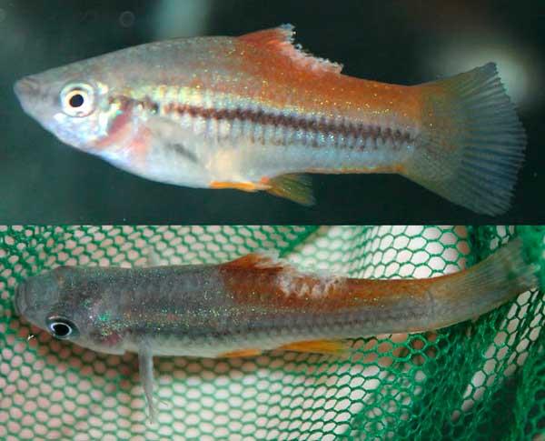 Маленькая аквариумная рыбка с разрушенным спинным плавником