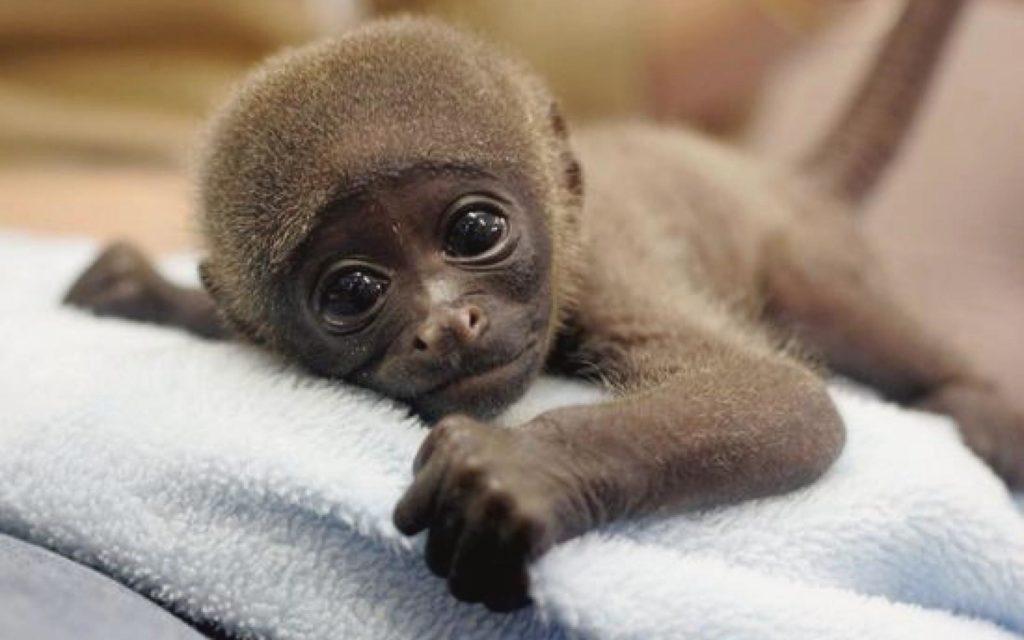 к чему снится очень много обезьян совсем